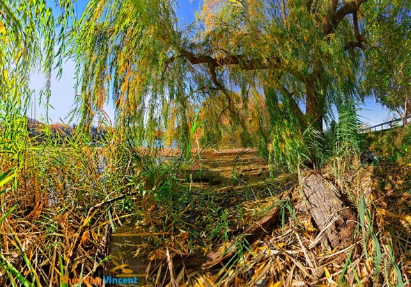 Vincent-Durand Lake Willow