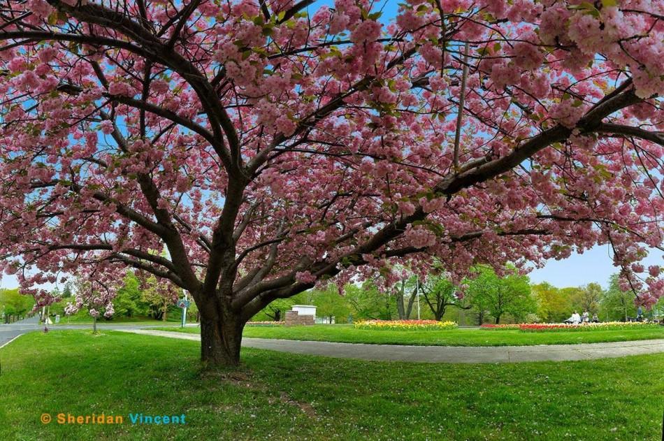 Vincent-Highland Park Lilacs 2013