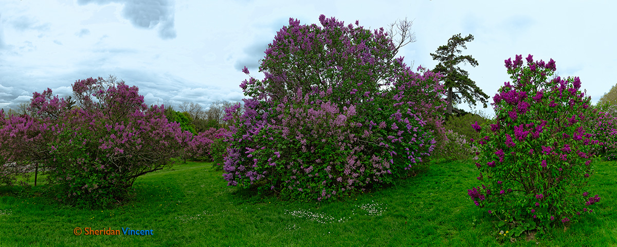 Lilacs at Highland Park